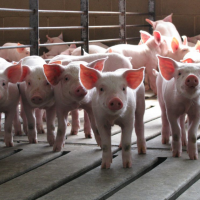 Interacting with Pig Production: The Maschhoffs Launches Farm-to-Table Experience